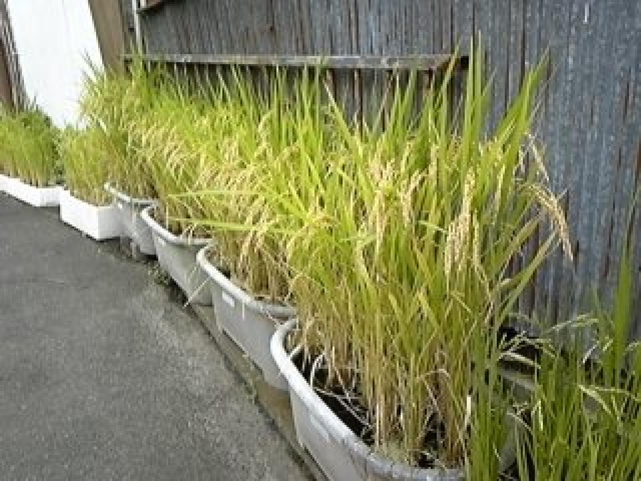 庭の稲ももうすぐ収穫 投稿者:こせき 撮影日:0000年月日 仙台では今週末から来週にかけて..