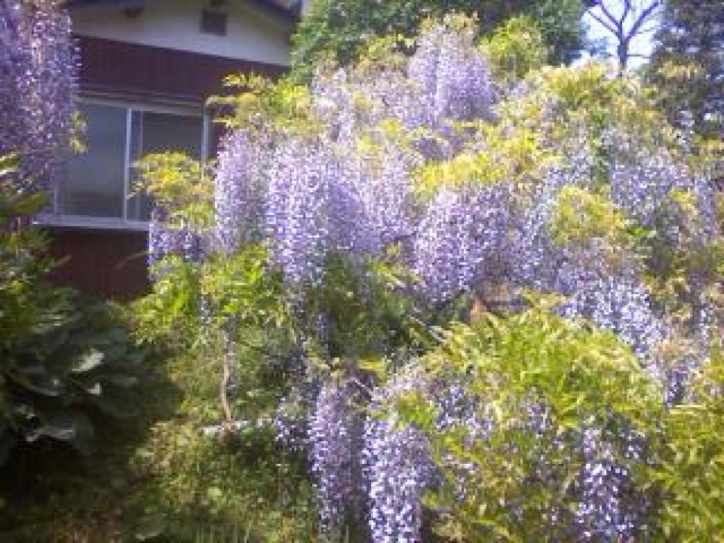 子平町の藤の花:仙台の風景や街並みを写真で紹介する「みでけ ...